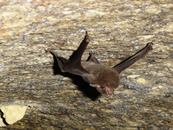 Seychelles Sheath Tailed Bat