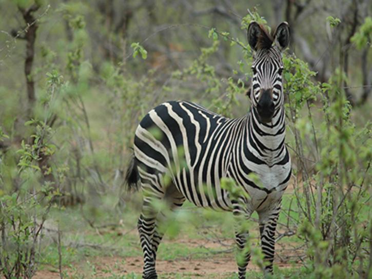 Equus Quagga Plains Zebra