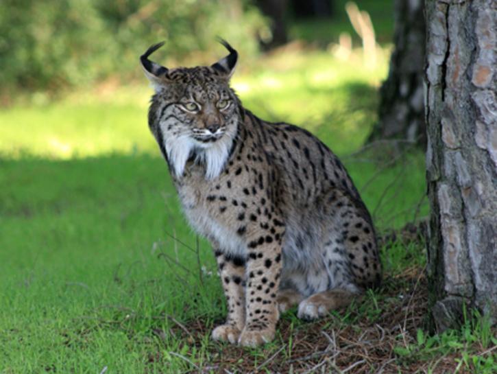 Lynx pardinus (Iberian Lynx)