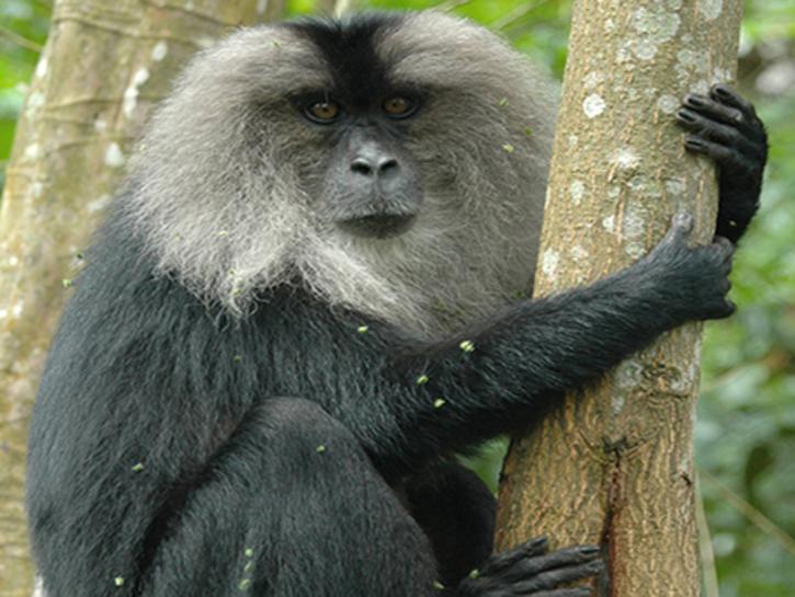 Macaca silenus (Lion-tailed Macaque)