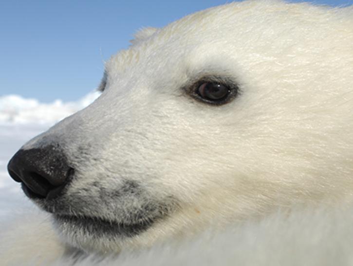 Ursus Maritimus Polar Bear