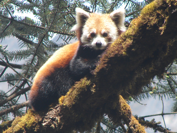 How Many Red Pandas Are Left In The World 2019