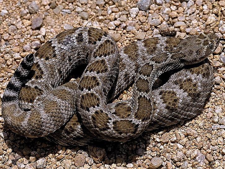 Crotalus catalinensis