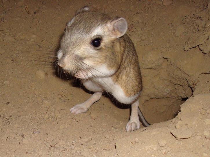 Image result for kangaroo rat